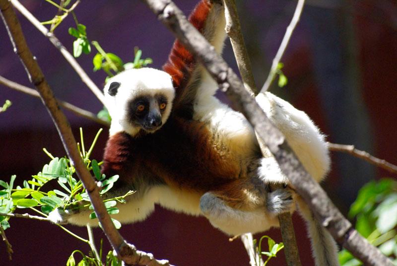 lemurien_ankarafantsika